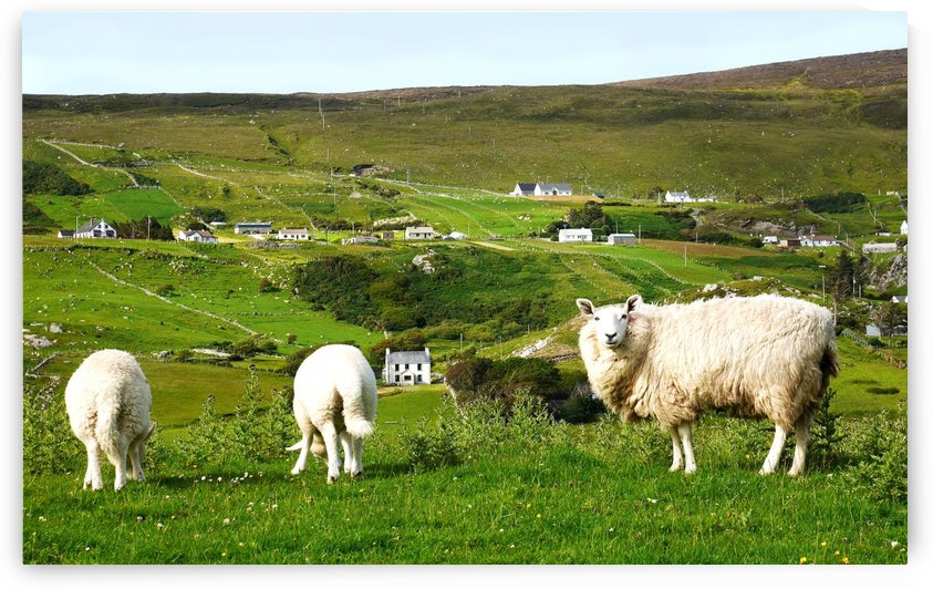 Sheep of Glencolmcille Country Donegal by Lexa Harpell