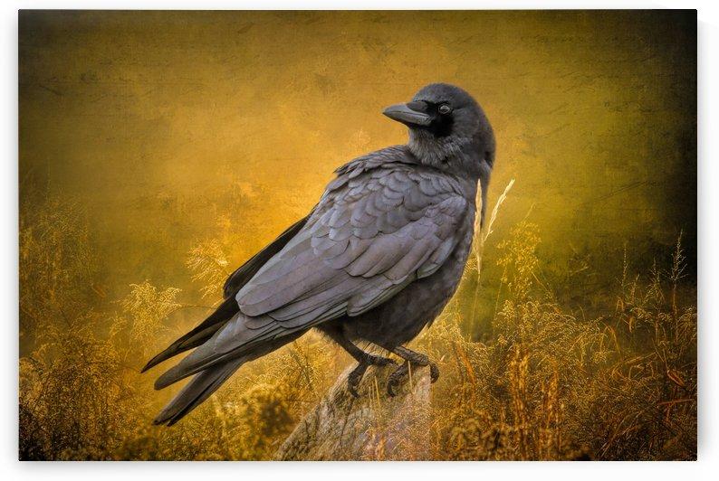 Black Crow by Michel Soucy