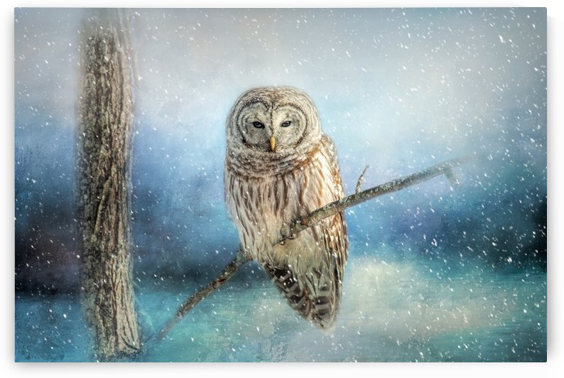 Barred Owl Solitude by Michel Soucy