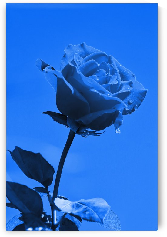 Love Rose blue 8665 by Thula-Photography