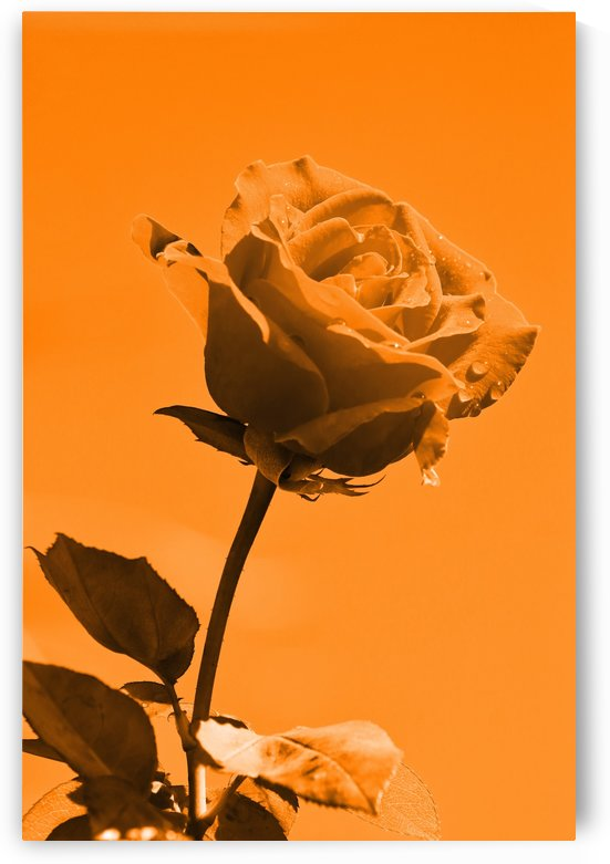 Love Rose orange 8665 by Thula-Photography