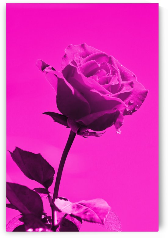 Love Rose magenta 8665 by Thula-Photography