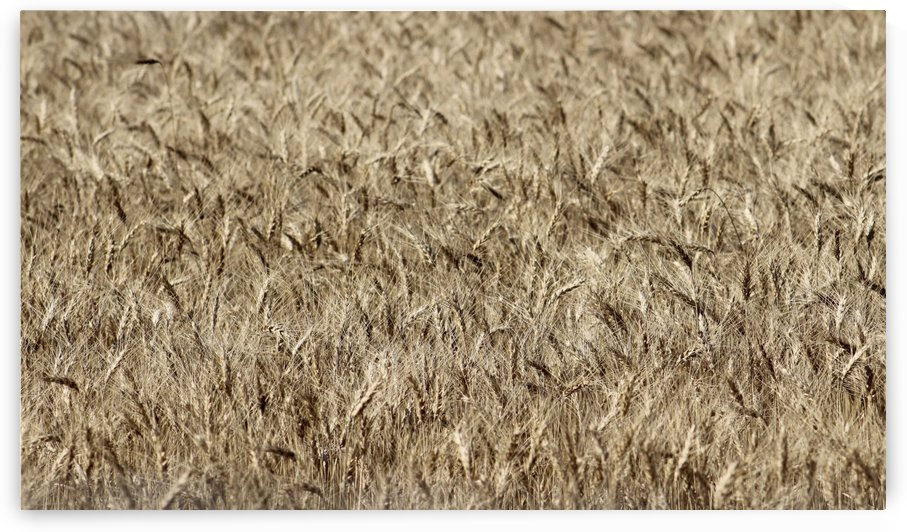 Waving of the Winter Wheat  by Natures Alchemy Captured