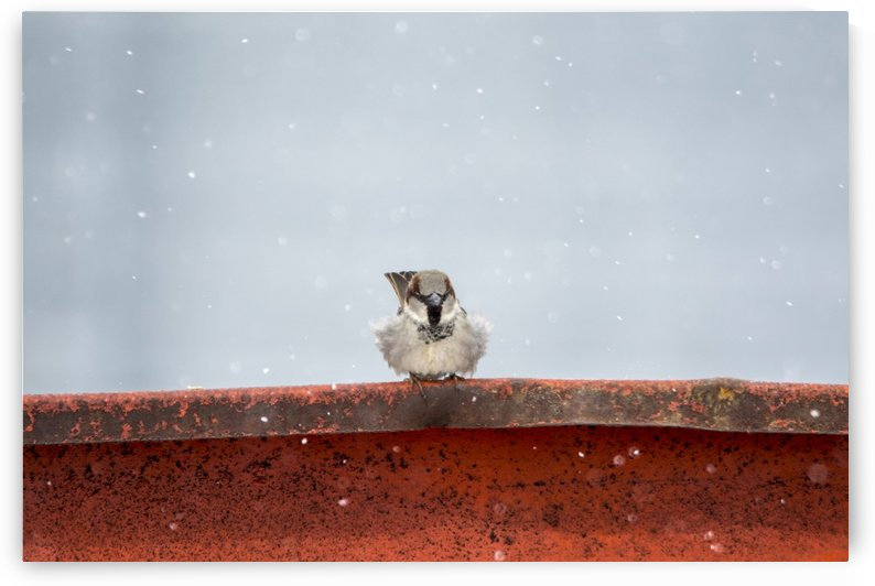 Snowy Sparrow by Chris Couling
