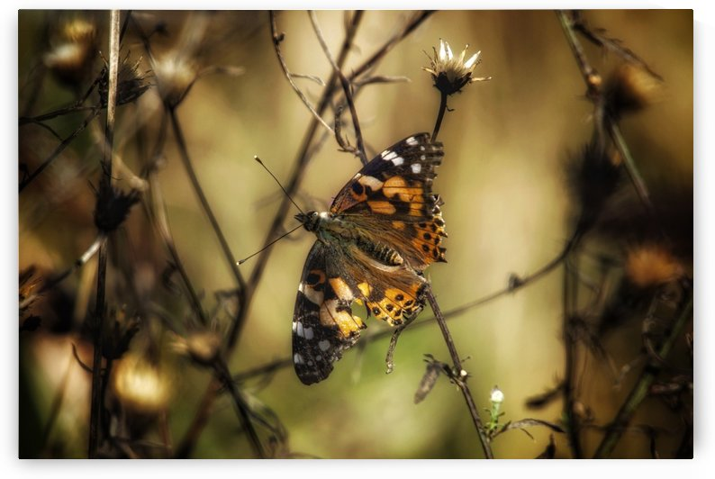 Painted Lady by Chris Couling