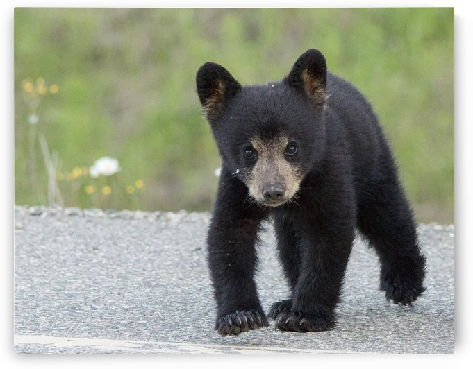 Baby Black Bear by Duncan Jacob