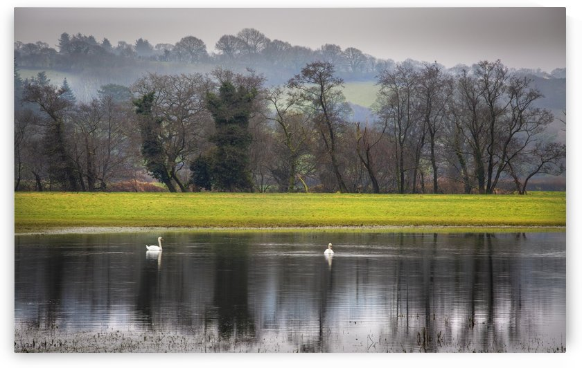 Swans on a flooded field by Leighton Collins