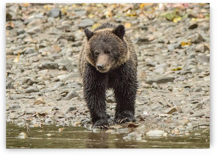 Grizzly Bear Cub by Duncan Jacob