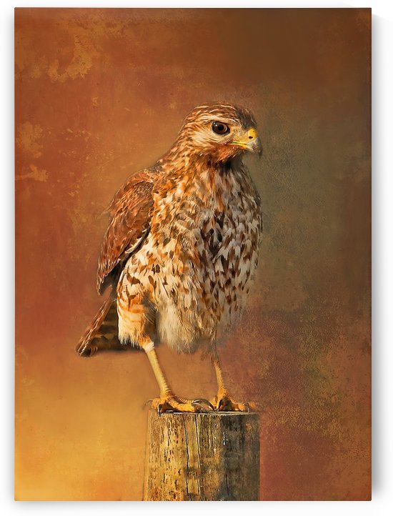 Red-shouldered Hawk Portrait  by HH Photography of Florida