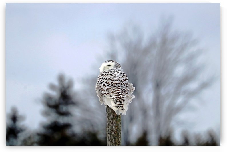 Snowy Owl Sideways Glance by Deb Oppermann