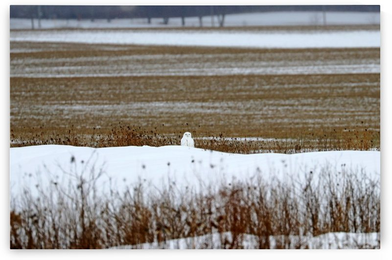 Snowy Owl Well Camouflaged by Deb Oppermann