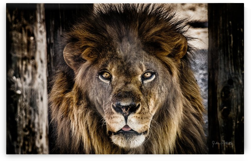 A Regal Lion by Julian Starks Photography
