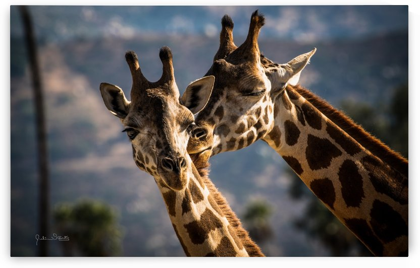 Loving Giraffes by Julian Starks Photography
