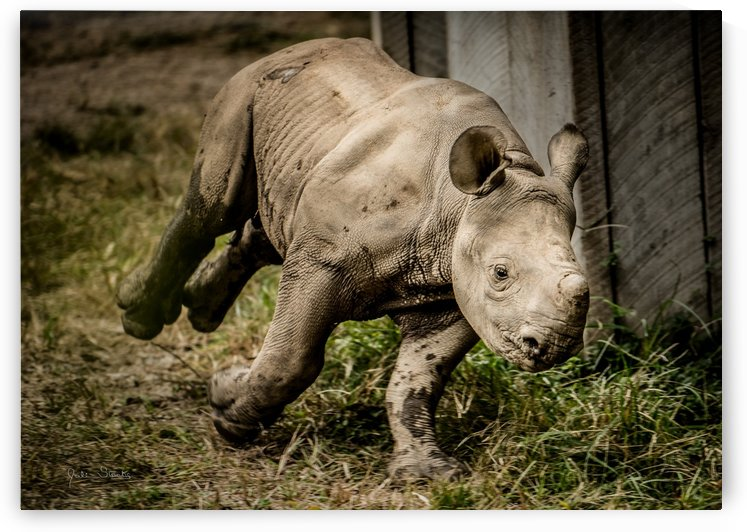 Baby Rhino by Julian Starks Photography