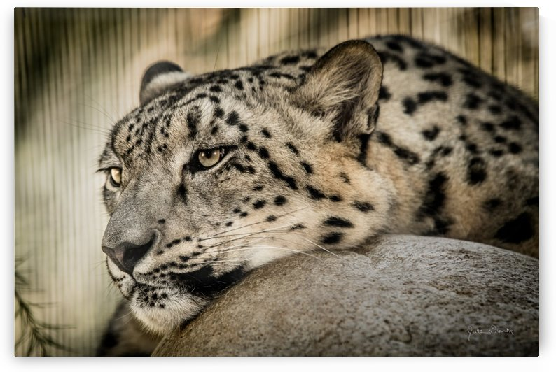 Snow Leopard by Julian Starks Photography