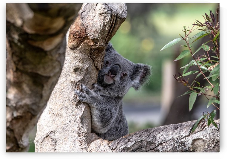 Australias Own Koala Bear by Julian Starks Photography