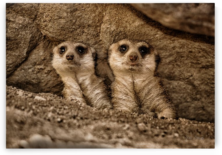The Meerkat Twins by Julian Starks Photography