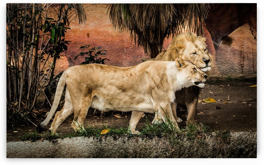 The Loving Lion Couple by Julian Starks Photography