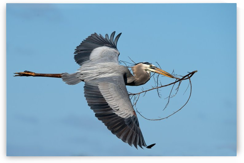 Nest Materials: Great Blue Heron 2476 by Matthew Lerman
