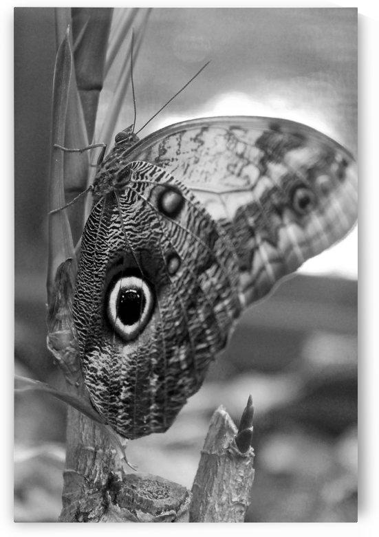 Owl Butterfly B&W by Gods Eye Candy