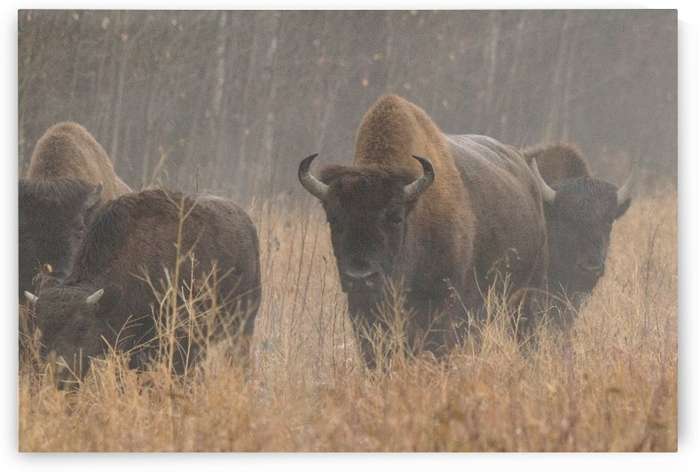 Buffalo in the Mist by Duncan Jacob