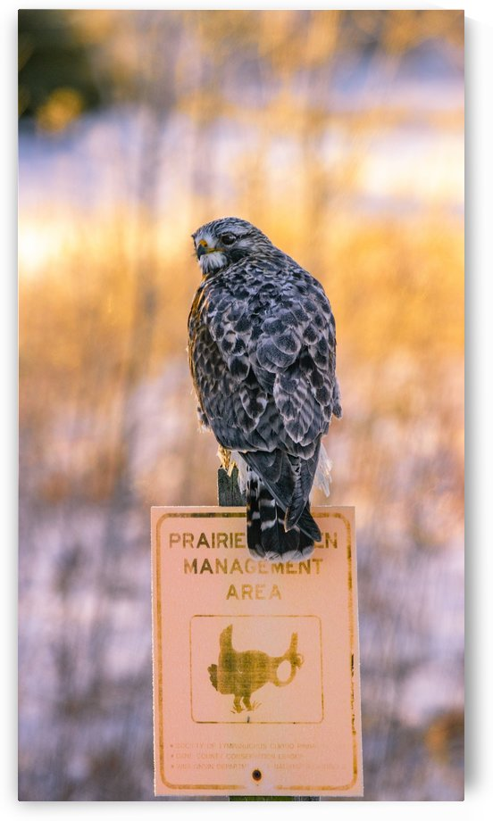 Rough-legged hawk by Joe Riederer