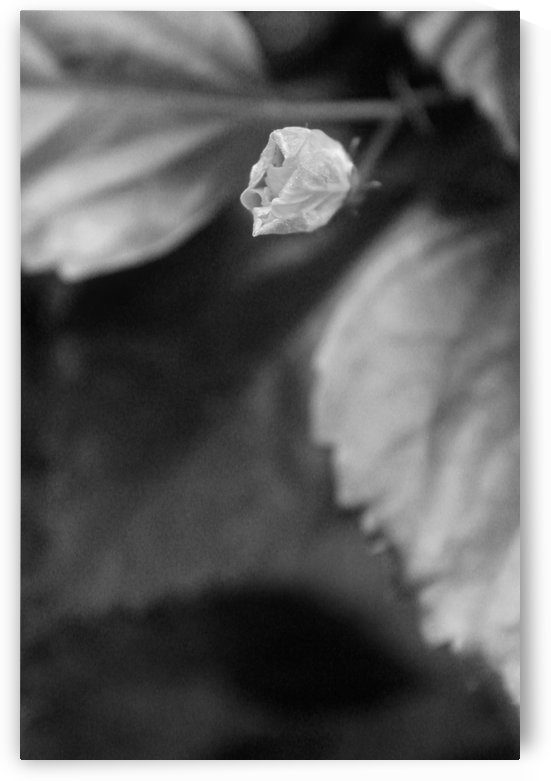 Waiting to Bloom B&W by Gods Eye Candy