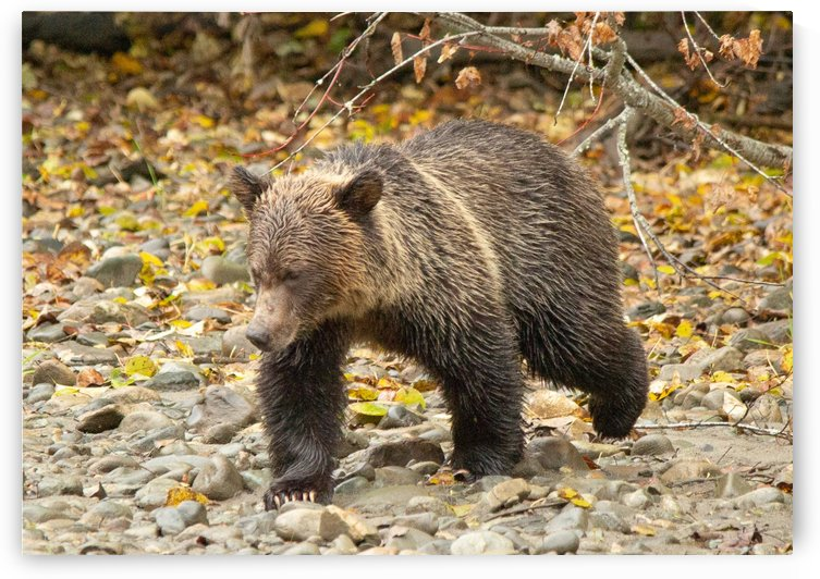 Grizzly Youngster by Duncan Jacob