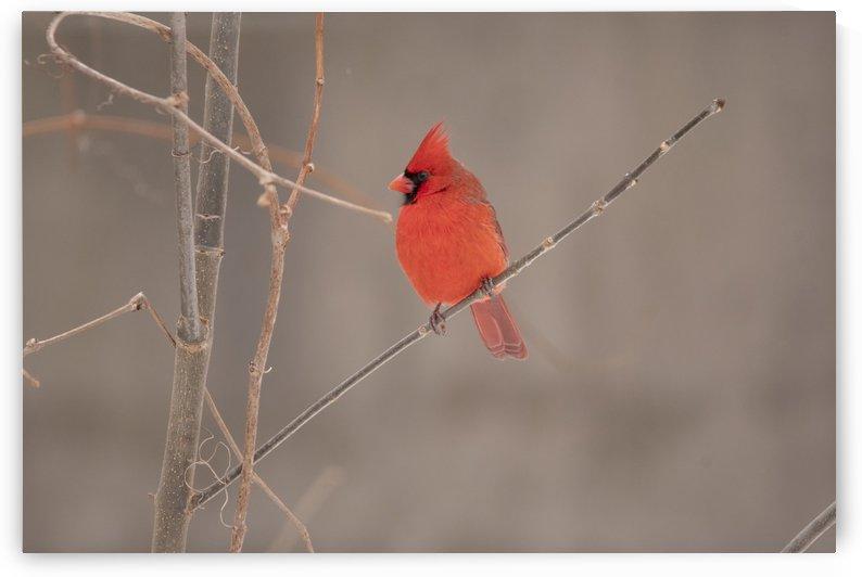 Male Cardinal on Twig by Sean Mahedy