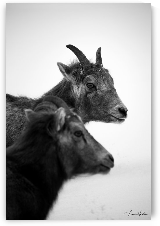 Goat Friends BW by TheLiamHarder
