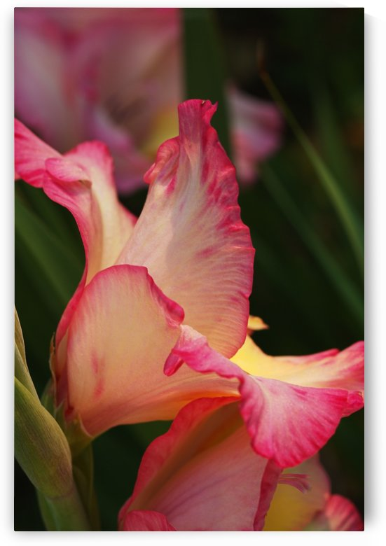 Rich Gladiolus Flowers Side Profile by Joy Watson