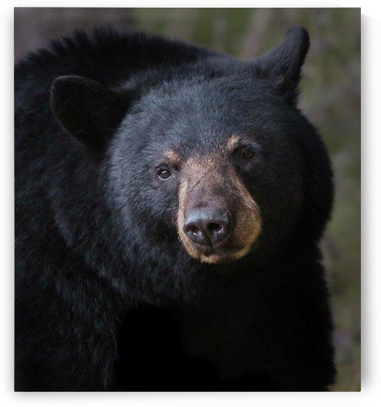 bear by Chris McQuarrie