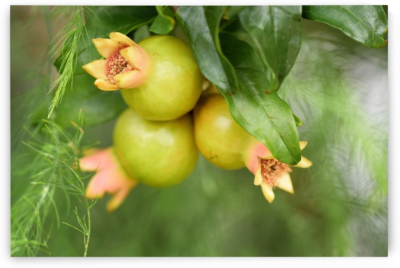 Pomegranate Tree Bearing Fruit by Michaela Scherr
