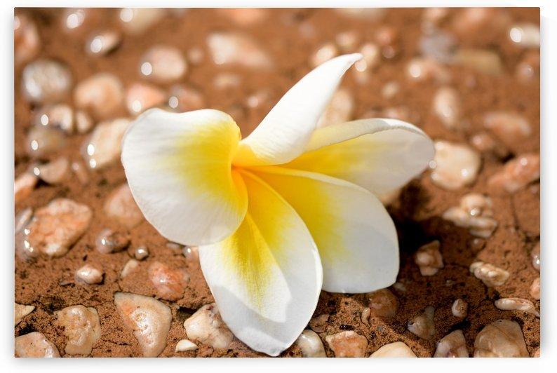 Single Yellow Frangipani in Sub-Tropical Australian Garden by Michaela Scherr