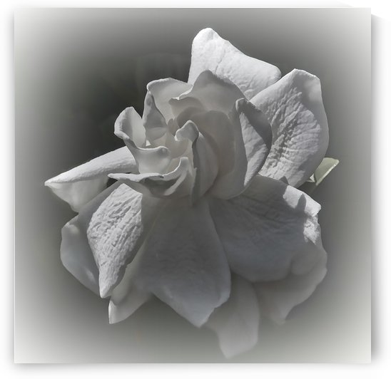 Gardenia Blossom in BW by HH Photography of Florida