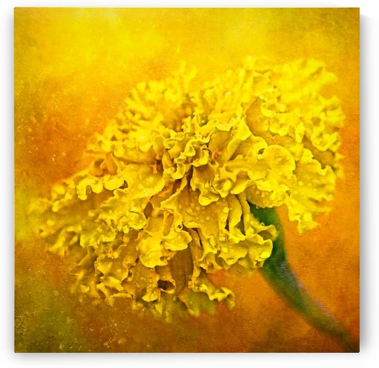 Very Gold Marigold  by HH Photography of Florida