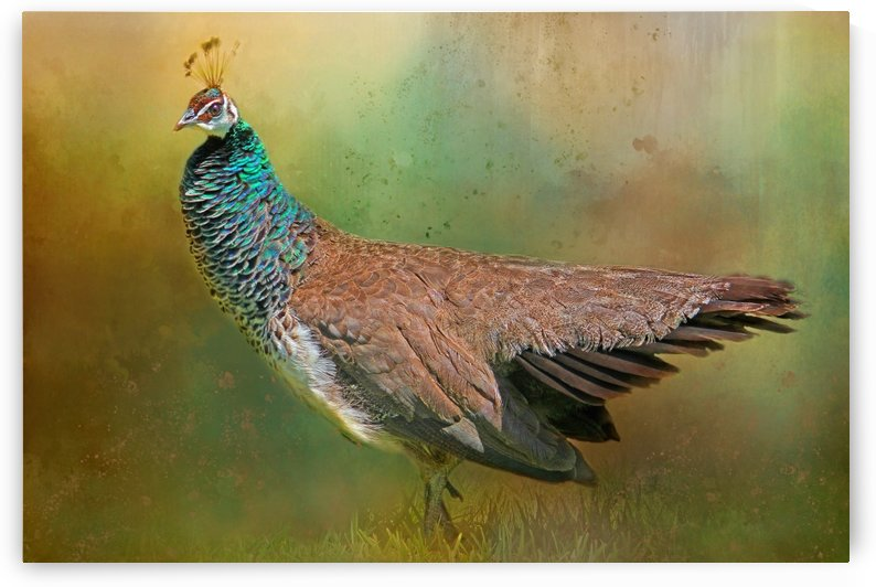 Lady Peahen by HH Photography of Florida