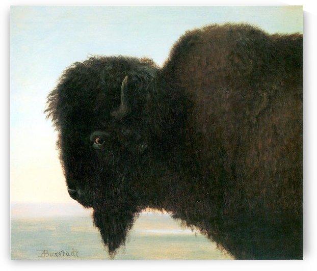 Buffalo Head by Bierstadt by Bierstadt