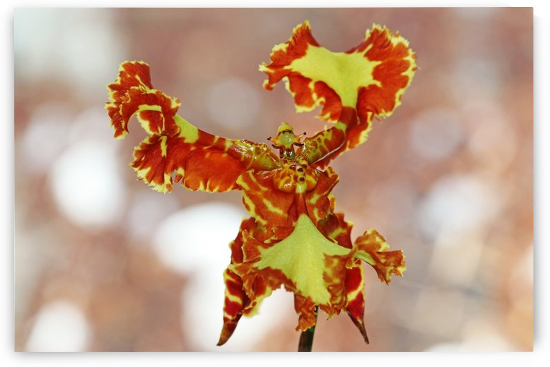 Butterfly Orchid by Deb Oppermann