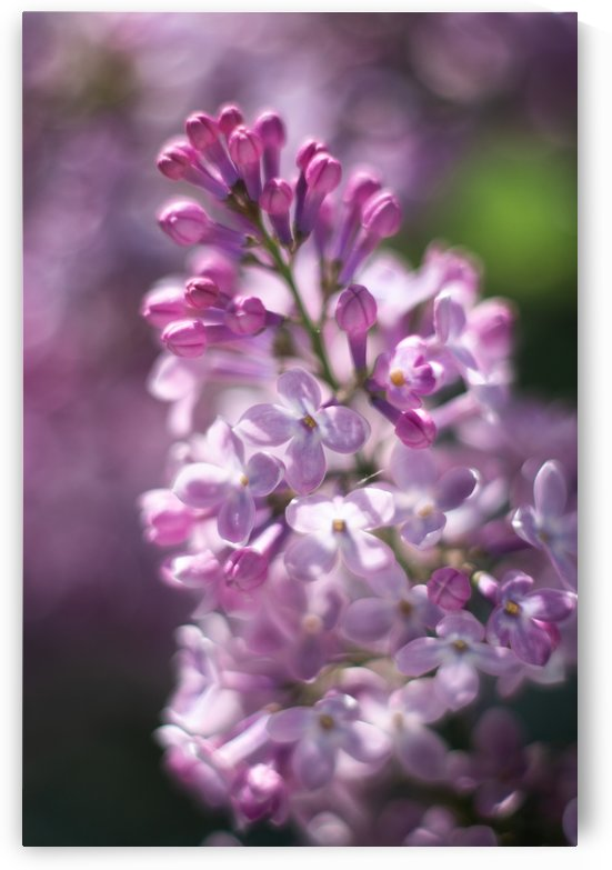Lilacs Variation II by MirkwoodPhoto