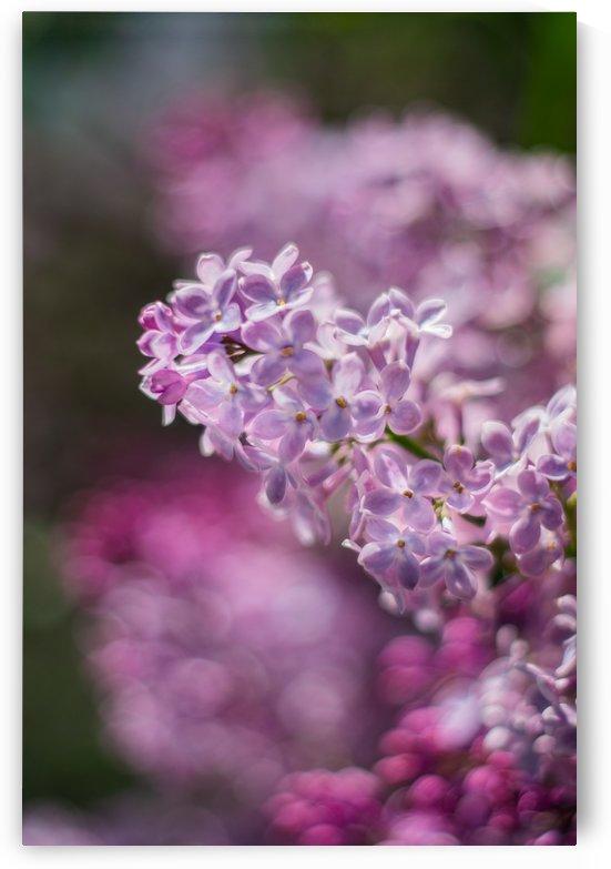Lilacs Variation I by MirkwoodPhoto