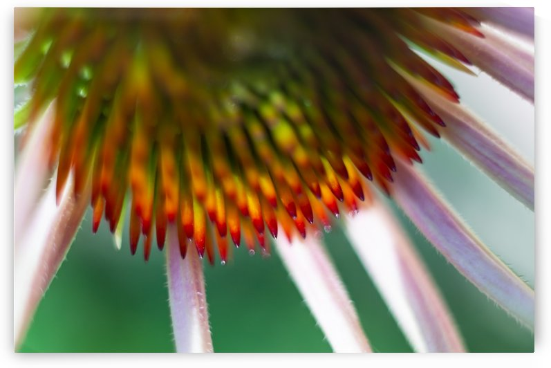 Coneflower I by MirkwoodPhoto