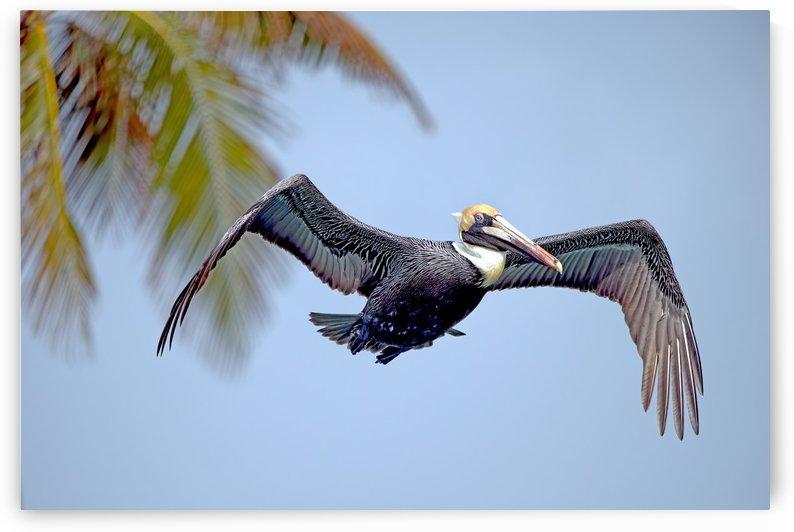 Florida:  Brown Pelican 2507 by Matthew Lerman