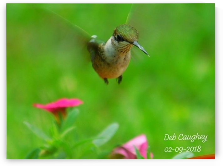 Ruby throated hummingbird by Debbie Caughey