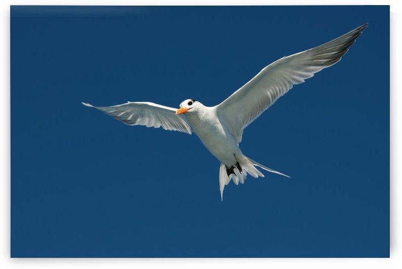 Royal Tern  by Matthew Lerman