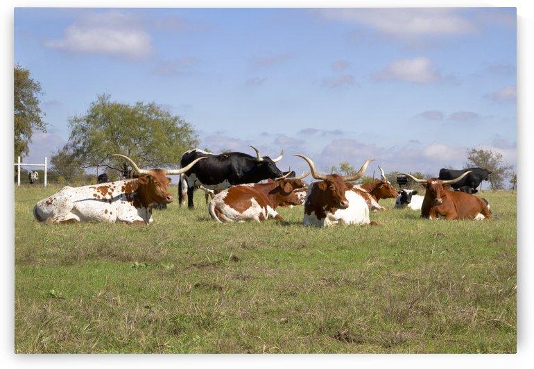 Longhorns by Wynne Mill Photography