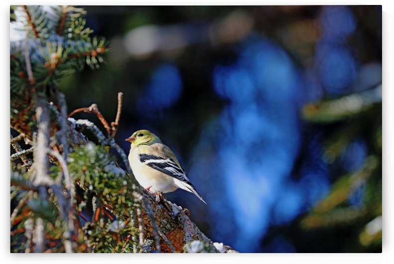 American Goldfinch Winter Plumage by Deb Oppermann