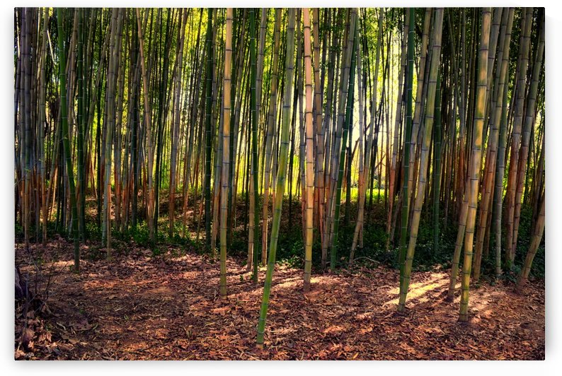 Bamboo Forest by Frank Wilson