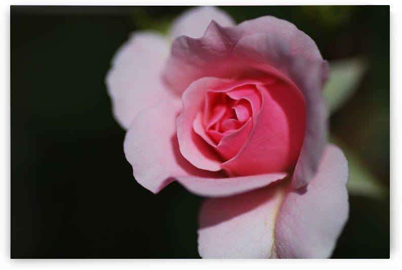 Pink Rose Eye Bud by Joy Watson