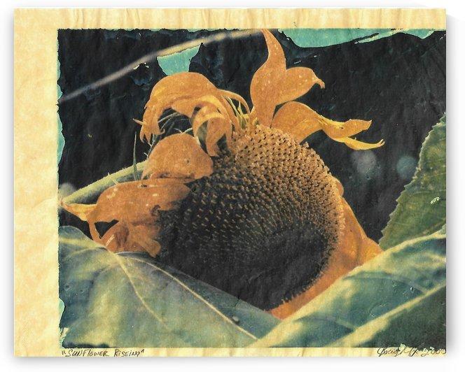 sunflower rising by Jon Knight Loruenser